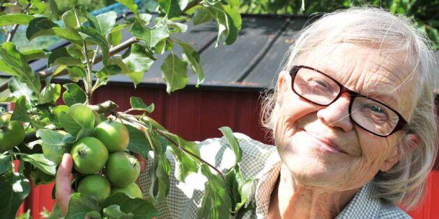 Beskär äppelträden som ett proffs – och få finare frukt i höst