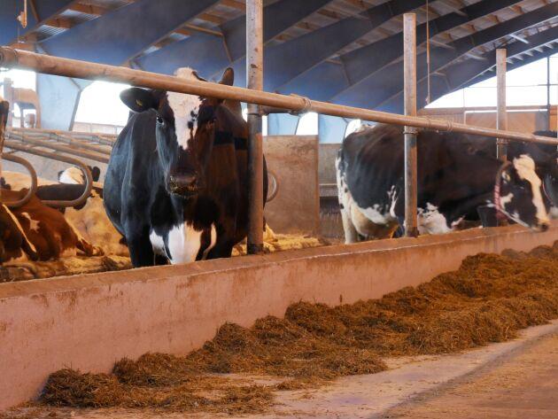 När robotarna togs i drift skulle 830 mjölkkor lära sig robotmjölkas, och efter tre veckor var det bara sjutton kor som vägrade.