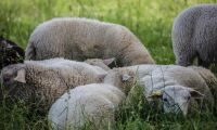 Tjuvar greps med stulet lamm i bagageluckan