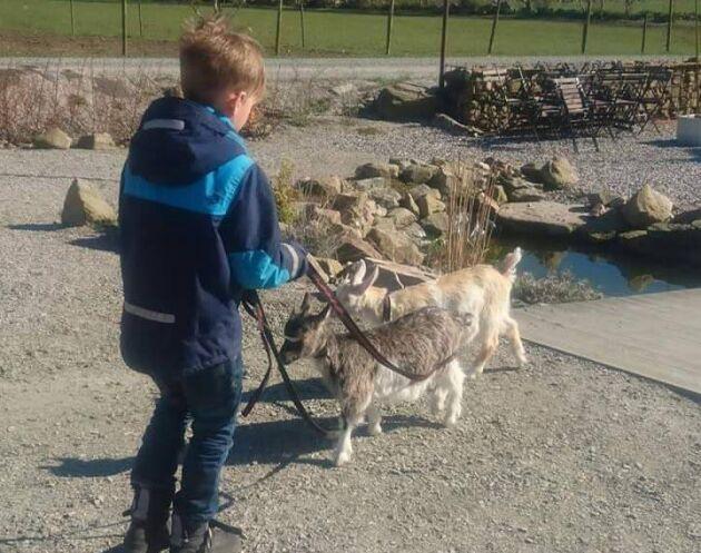 Sonen Melvin, 7, på promenad med sina favoritkillingar, den smörkolafärgade Kola och Getrud.