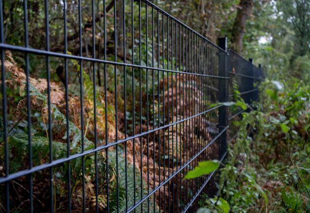 Staketet gränsar mot Tyskland och ska skydda Danmark från den afrikanska svinpesten. Det blev färdigt hösten 2019.