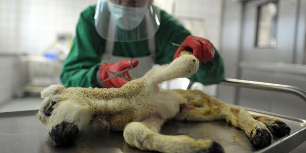 Nya fall av Schmallenbergvirus upptäckta i Skottland