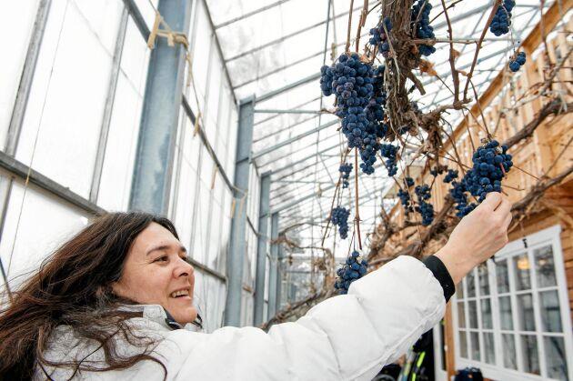 Egna druvor. Rosmary plockar från vindruvsklasar som hänger från växtshusets tak.