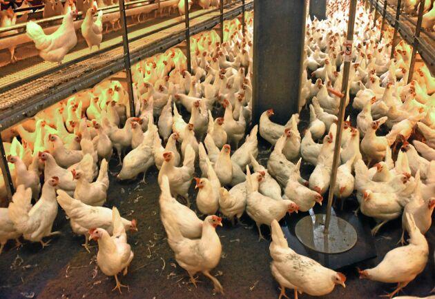 Medborgarinitiativet End the Cage Age vill att alla lantbruksdjur, som dessa värphöns, ska ut ur burarna.