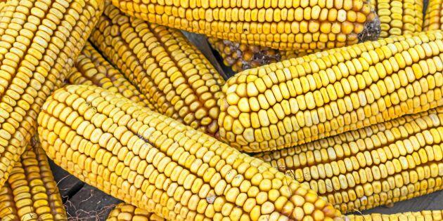 Odlade GMO trots nationellt förbud –får rätt i domstol
