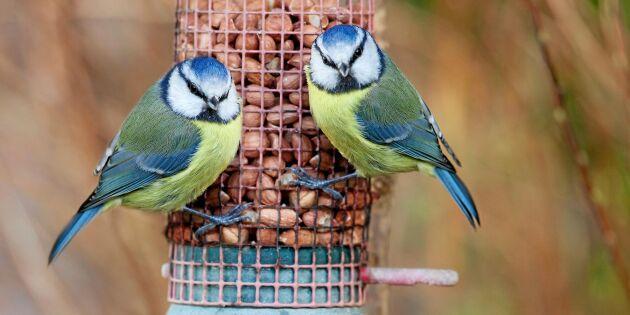 Lyssna: Lär dig de första vårfåglarnas sång!