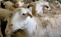 Storbritannien kan få stödköpa kött