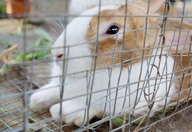 Kaninen på bild är fotograferad i ett annat sammanhang. Arkivbild.