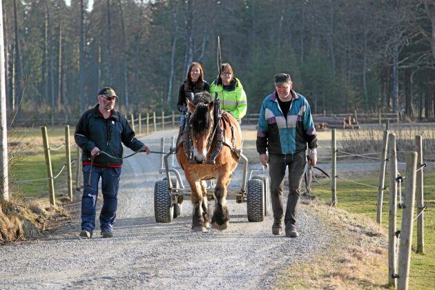 Ardennerhästarna från Misterhult är tacksamma att användas vid olika körningar.