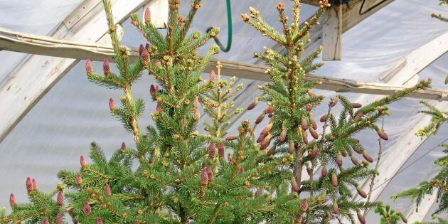 Fröodling i växthus ska ge bättre granar