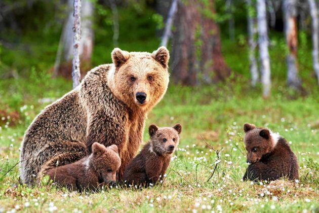 Spana efter björn vid en åtelplats.