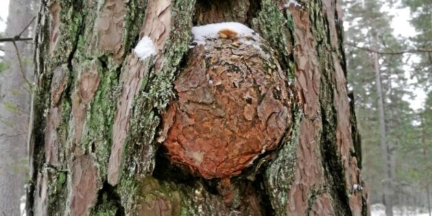 Skumma träd från Skrubbaskogen