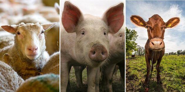 Färre får men fler grisar och nötdjur