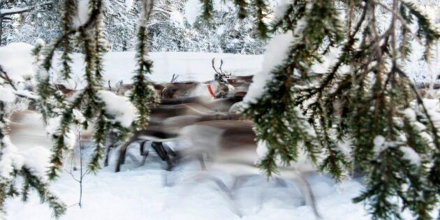 Sveaskog pausar avverkning efter kritik