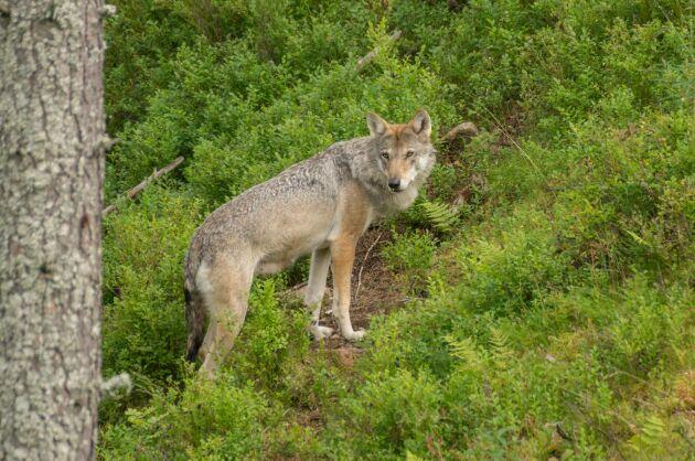 Åtalet för de misstänkta jaktbrotten i Västmanland kan dröja uppemot två år.