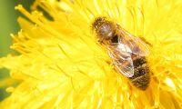 Risk för minskad skörd när bin dör