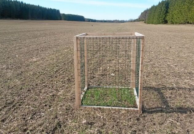 På bilden som togs den 1 april 2014 syns omfattningen efter dovhjortarnas vinterbete på vetefältet.