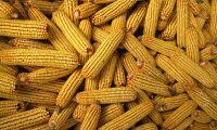 Sju av tio tror det finns GMO-livsmedel i butiken