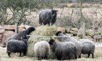 Grannar ville stoppa fårens bräkande