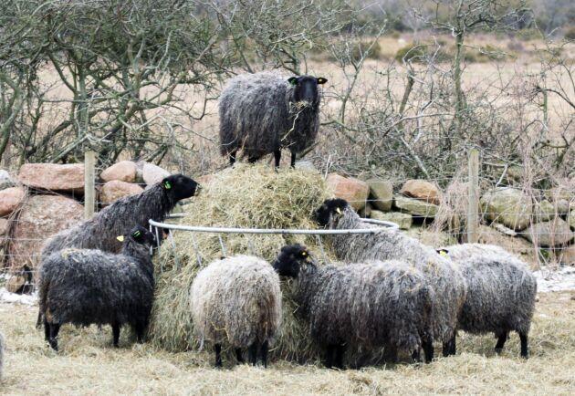 """När en djurägare på norra Öland ville ha ett tiotal tackor på sin fastighet inom detaljplanerat område reagerade grannarna, bland annat ett par från Stockholm, mot att det skulle innebära """"störningar i form av bräkande ljud, lukt och flugor på grund av fåren""""."""