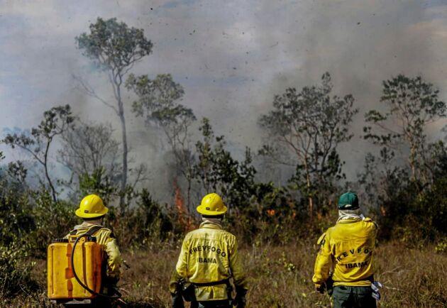 Räddningsarbetare kämpar mot bränderna i Amazonas i Manicore, Brasilien.