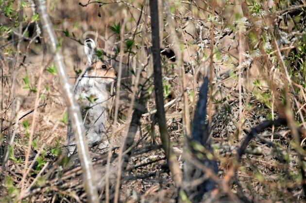 HARE. Skogsharen litar ibland på sitt kamouflage, men är också duktig på att hitta skydd eller bara krypa ihop.