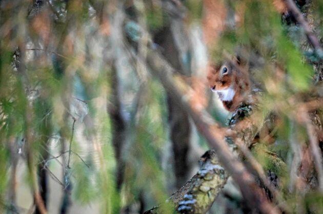 EKORRE. Ekorren ilar snabbt mellan trädens grenar, men kan plötsligt försvinna helt och då mycket väl sitta intill stammen nära dig.