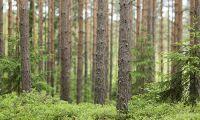 Metsä betalar mer för massaveden