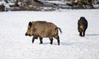 Gemensam insats för att stoppa svinpest