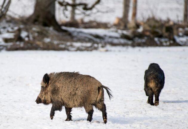 Ett vildsvin som var smittad med afrikanska svinpesten hittades 30 kilometer från den tyska gränsen. Arkivbild.