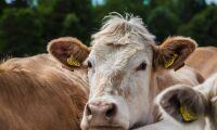 Vill betala mer för svenskt kött