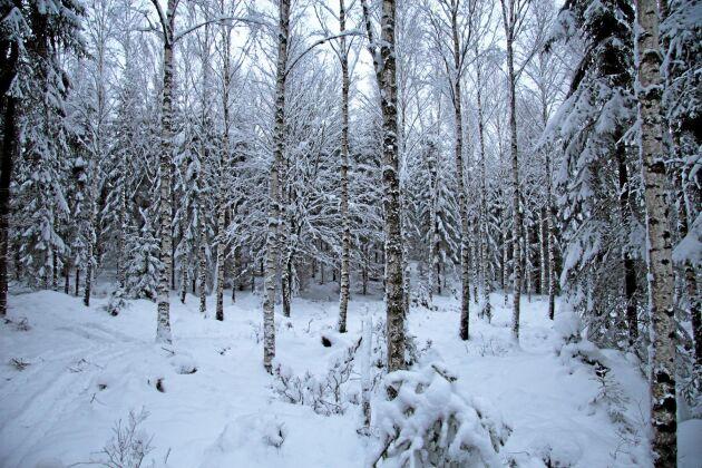 """Mats släpper upp björk som """"oaser"""" om det bildas större luckor i granföryngringarna. Det ger bland annat ökad variation, ljusare skog och riskspridning, anser han."""