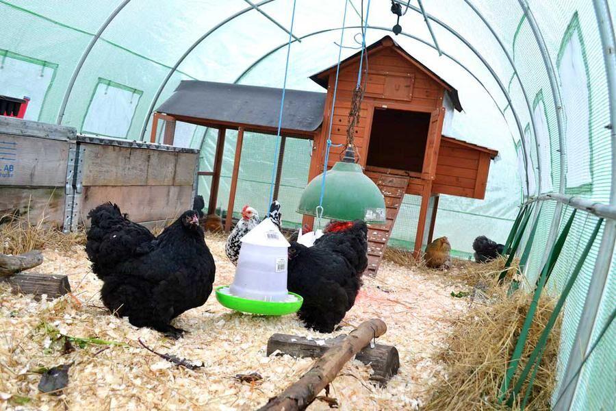 Förra vintern bodde hönsen i ett tunnelväxthus.