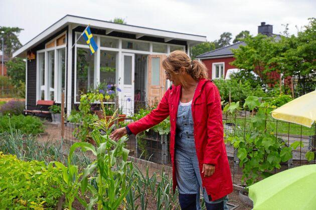 Mariette Fröberg, 53, från Västervik tycker att fler borde bli kolonister. Här undersöker hon majsplantorna som hon inte riktigt lyckats med i år. I bakgrunden skymtar orangeriet där Mariette och hennes Staffan skapat en härlig plats att slappna av på mellan arbetspassen i trädgården.