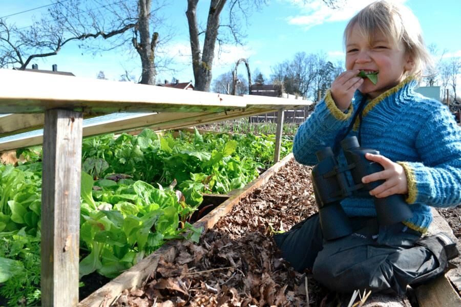 Viggo, 4 år, gillar sallad. Varmbänken är en ovärderlig grönsaksbar när inte mycket växer på friland. Foto: Sara Bäckmo