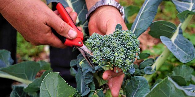 Därför ska du äta broccoli varje dag – 5 väldigt bra anledningar