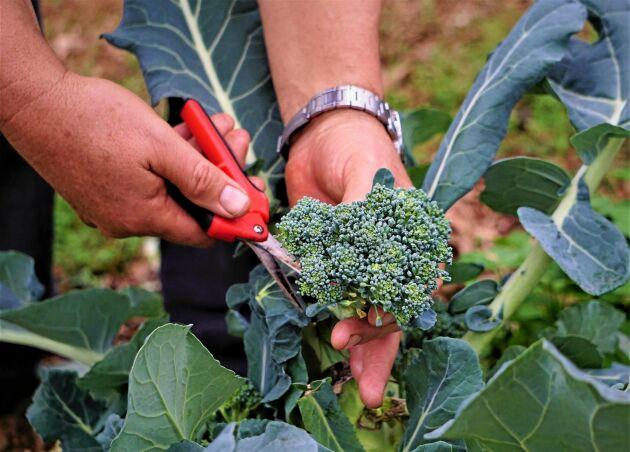 Broccoli är rik på fibrer som håller magen i schack!