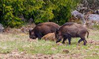 Stor vildsvinsstam gör svinpest svårare att stoppa