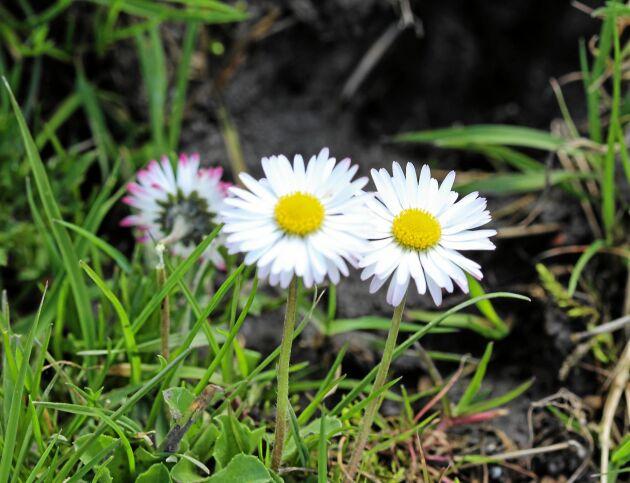 Tusensköna (skilj från prästkrage, tusensköna har något rosa blad och är mindre).