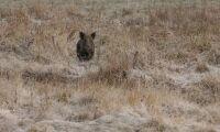 Tysk jägare dog av vildsvinsbett