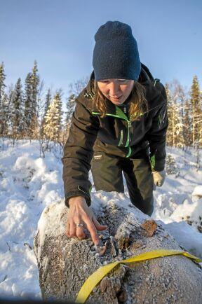 Biolog Maria Nordlund ansvarar för utläggningen av värdefulla stockar som bland annat hyser den rödlistade signalarten rosenticka, som hon pekar på.