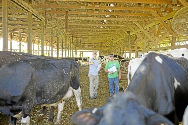 """Curtis Coombs sorterar ut de djur som ska åka. """"Det är alltid de bästa korna man får sälja först"""" säger han. Foto: Sabrina Hounshell"""