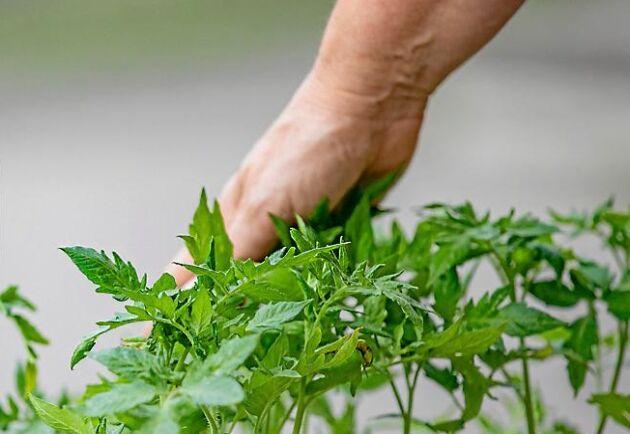 En mild smekning över plantans topp gör den starkare.