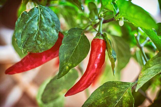Gulnande blad kan vara tecken på näringsbrist hos chilin.