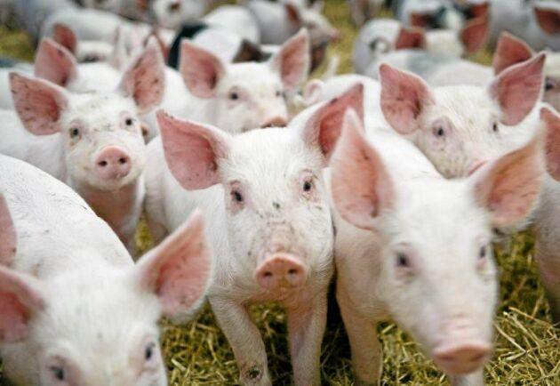 Torka, afrikansk svinpest och nya regelverk blir det kommande årets stora frågor. Det spår Maria Törner inför 2019.