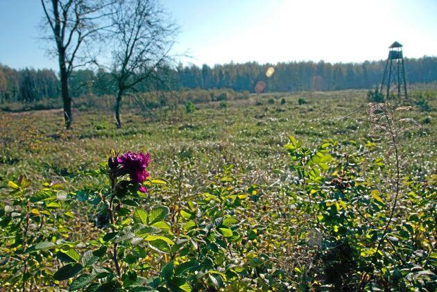 En rosenbuske minner om att här legat ett övergivet torp. Nu har åker och hagar planterats igen.