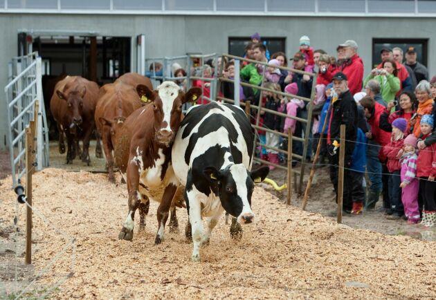Kosläppet lockar tusentals besökare. I år arrangerar Arla kosläpp på sammanlagt 51 gårdar runtom i landet.