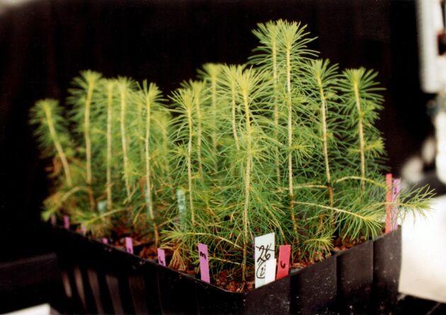 Förslag för ökad skogsproduktion finns i rapporten, till exempel bättre plantmaterial.