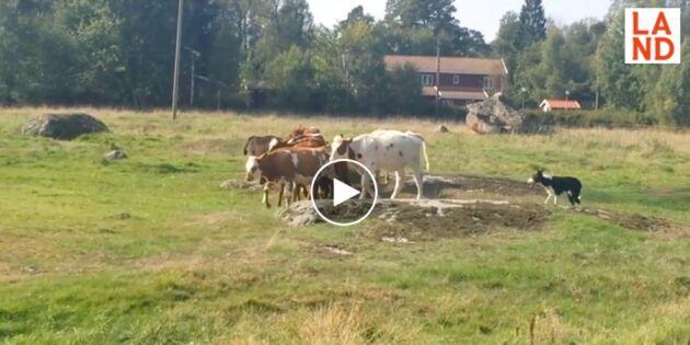 Den busiga kalven vill inte göra som de andra – se hur vallhunden löser uppgiften