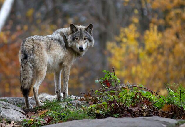 Av Sveriges fyra varglän erbjuder bara Örebro en varningstjänst mot rovdjursangrepp. Arkivbild.